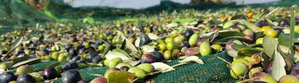 Olio evo -Olive - Azienda Agricola La Guarda